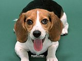 Beagle Puppy Dogs10 pics