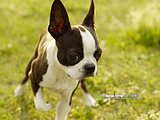 Boston Terrier Puppy Dogs6 pics