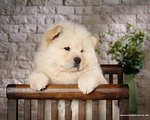 Fluffy White Chow Chow Puppies30 pics