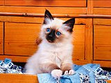 Fluffy Kittens - Loveable Kitten Calendars25 pics