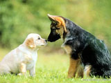 Tawny Guide Dogs Calendars24 pics