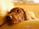 Irish Setter Puppy Dogs7 pics