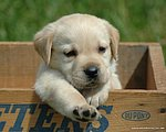 Adorable Labrador Retriever Puppies26 pics