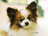 Papillon Puppy Dogs20 pics