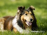 Beautiful Shetland Sheepdog4 pics