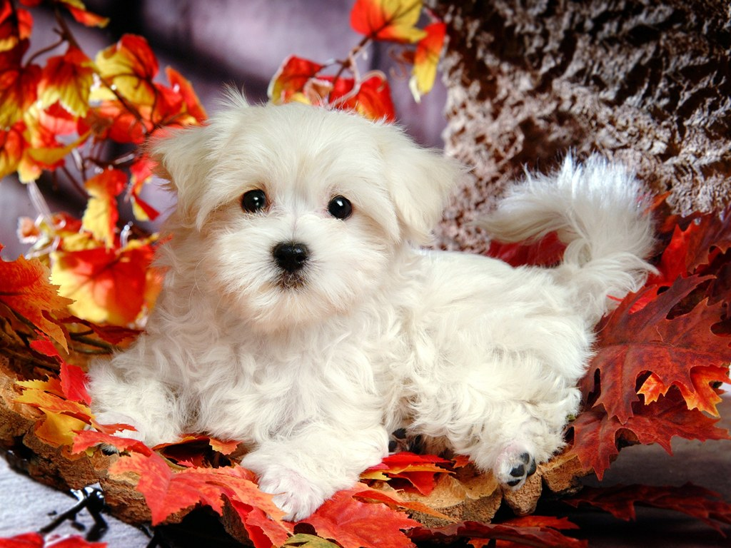 Puppy dogs white maltese puppies wallpapers 1024 768 no 27 wallpaper