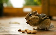 Adorable Chipmunk in Backyard35 pics