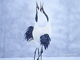 Beautiful Japanese Cranes in Winter11 pics