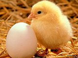 Loveable Baby Chicks and Ducks17 pics