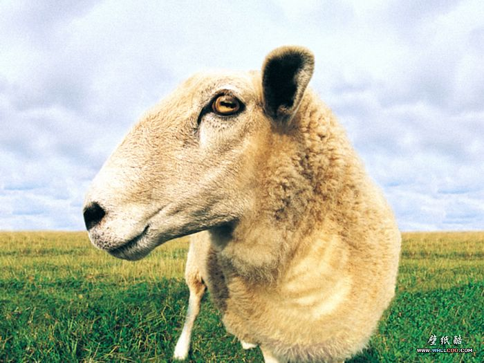 Goofy sheep pictures fisheyed sheep portrait 12 - Funny pictures farm animals ...