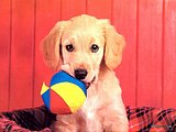 Playful Puppies - Playful Puppy Calendars25 pics