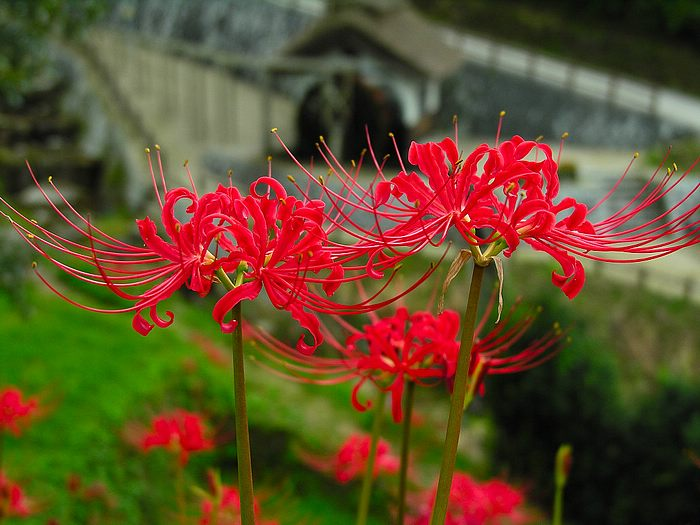 Red spider lily, Lycoris radiata flowers Photo Picture 4