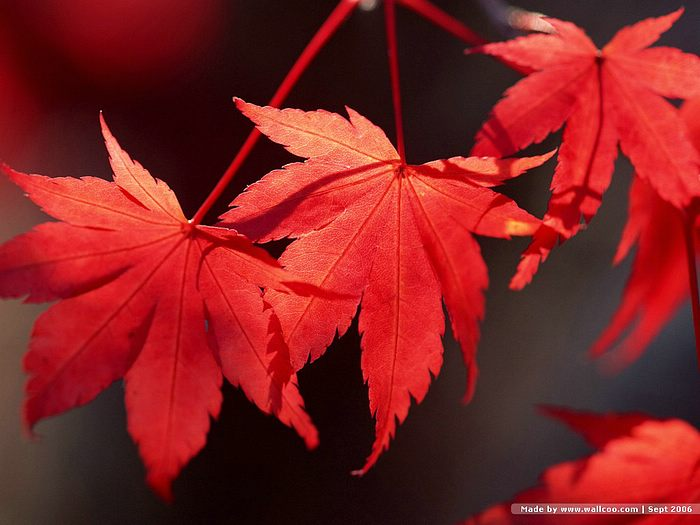 red leaves hd wallpaper - photo #36