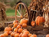 Harvest Scene of Pumpkins30 pics