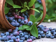 Fruit Harvest : Blueberries11 pics