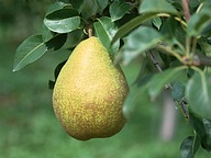 Fruit Harvest : Pear13 pics
